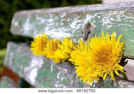 Dandelions Flowering In The Old Green Bench