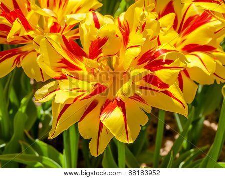 Yellow-red Tulips