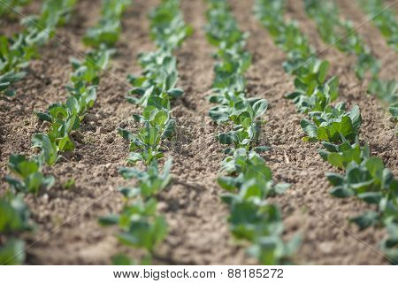 Field Of Cabbage Cultivated Under Greenhouse