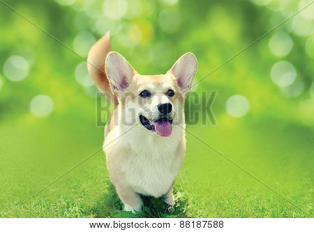 Happy Dog Welsh Corgi Pembroke On The Grass In Sunny Summer Day, Toned Colors