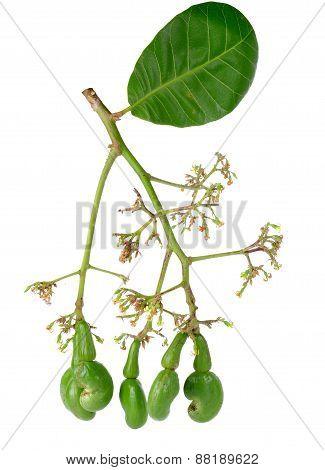 Raw Cashew Nut, Anacardium Occidentale Isolated On White Background