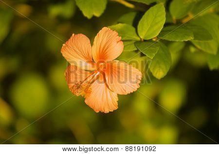 Hipiscus Flower