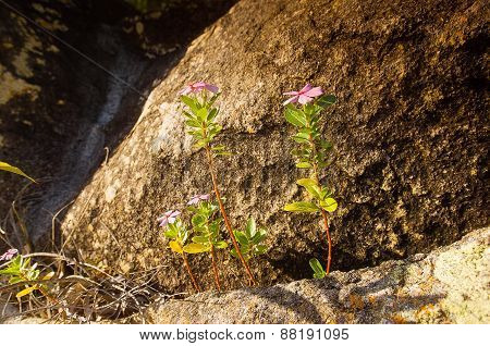 Flower On Rocks
