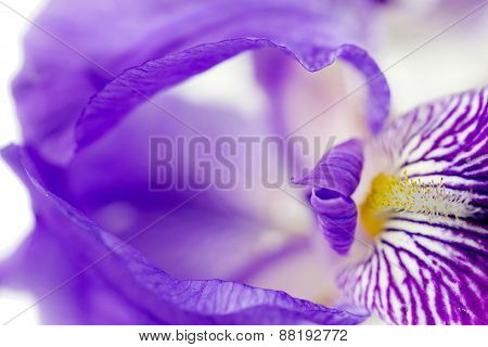 Iris Flower Over White Background