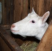 picture of saanen  - Saanen white  nice thoroughbred goat in barn - JPG