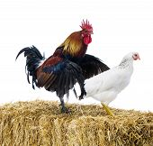 image of mating animal  - Mating rooster and hen isolated on white - JPG