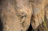 stock photo of elephant ear  - elephant head with big ears and eye detail photo - JPG