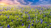 image of bluebonnets  - Texas pasture filled with bluebonnets at sunset - JPG