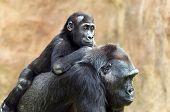 image of gorilla  - A young gorilla riding on its mother