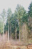 picture of conifers  - Forest of high green conifer a springday - JPG