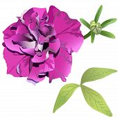 pic of petunia  - Photorealistic Purple Petunia Isolated On White Background With Leaves And Bud - JPG