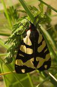 picture of moth  - Cream - JPG