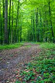 stock photo of dirt road  - A dirt road in the mixed forest in a sunny day spring by Beckingen Saarland  - JPG