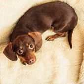 stock photo of dachshund dog  - Animals at home - JPG