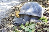 picture of tortoise  - Aldabra giant tortoise in island Curieuse - JPG