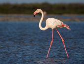 foto of greater  - Greater Flamingo  - JPG