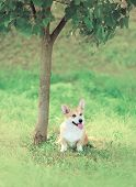 picture of corgi  - Sweet dog Welsh Corgi Pembroke sitting on the grass near tree soft vintage pastel photo - JPG