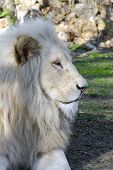 foto of african lion  - White South African male lion  - JPG