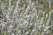 stock photo of ceres  - Cherry blossoms in spring in the Valley of Jerte  - JPG