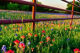 stock photo of bluebonnets  - Texas bluebonnets and Indian paintbrushes bathed in late afternoon light - JPG