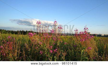 Fireweed Field