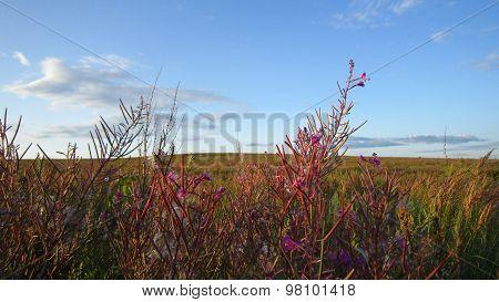 Fireweed Flowers