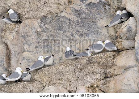 Black-legged kittiwakes (Rissa tridactyla) nesting colony