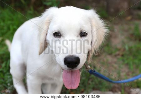 Labrador retriever dog with leash walking outdoors