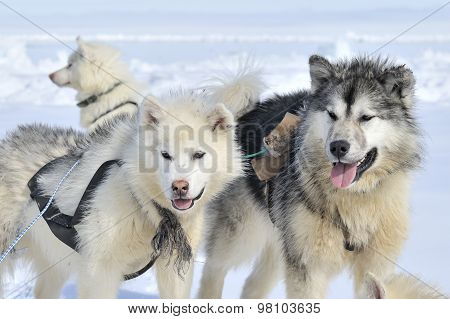 Husky sled dog portrait