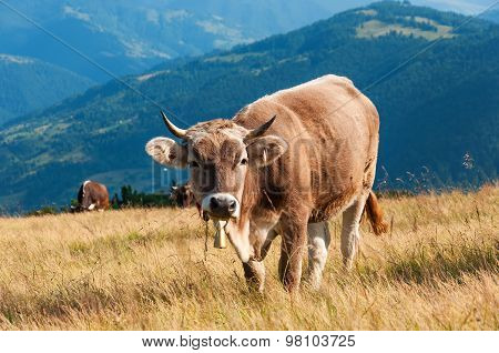red cow looks into camera, over summer grassland
