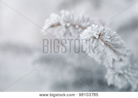 fir covered with hoar frost closeup photo