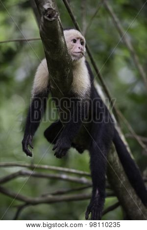 Gracile Capuchin Monkey
