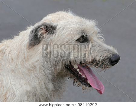 The Detail Of Irish Wolfhound