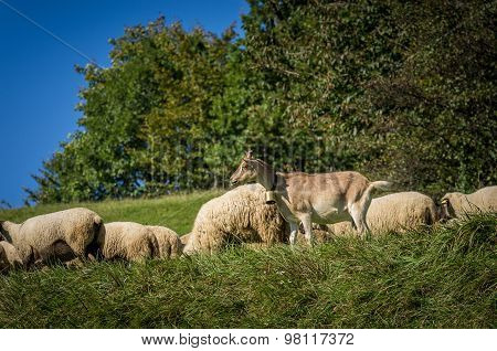 Flock Of Sheep Grazing On Green Pasture