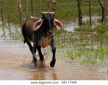 Cow running trough water