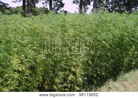 Marijuana field - Hennep or Cannabis (Cannabis sativa)