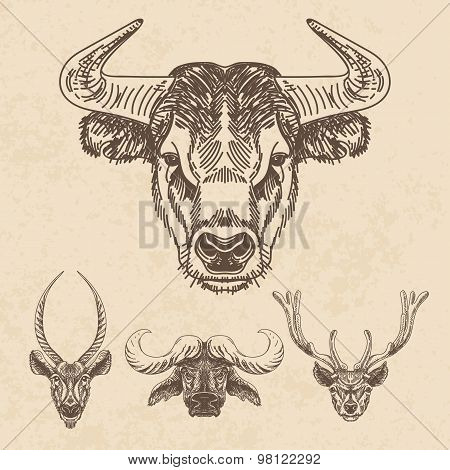 Vector set of hand drawn animal. Vintage illustration with Bulls