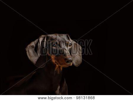Portrait Of Dog Breed Short Haired Dachshund