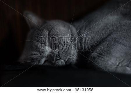 Portrait Of A Sleepy Purebred Russina Blue Cat