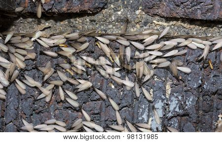 Eastern subterranean termites, The swarmers (reproductives), Winged termites