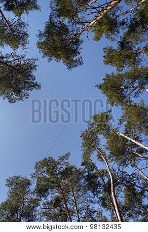 Treetop Of Pine Trees In Sunlight