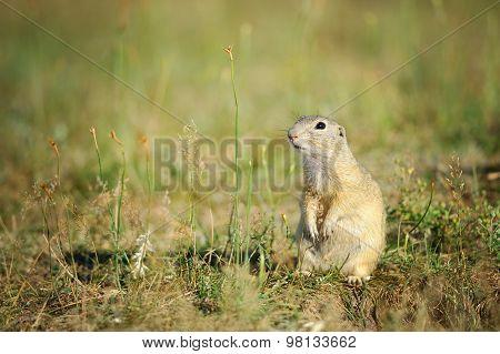 European Ground Squirrel Sitting On Green Grass