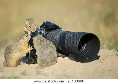 Group Of European Ground Squirrels Looking To Big Professional