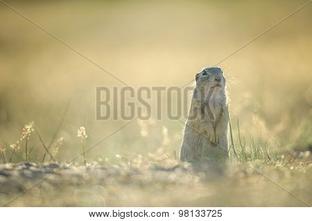 European Ground Squirrel Standing On The Ground With Yellow Summer Grass.