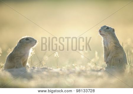 Two European Ground Squirrels