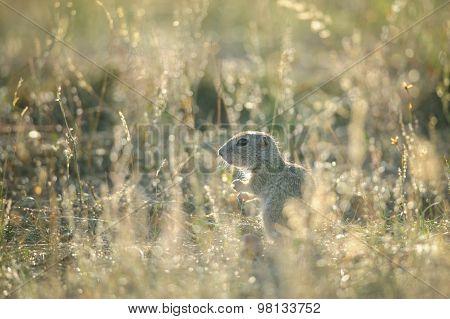 Baby Of European Ground Squirrel