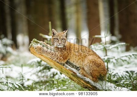 Eurasian Lynx Cub Lying On Tree Trunk In Winter Colorful Forest