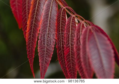 Crimson Leaves Of Autumn