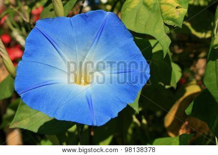 Blue Flower of Creeper Plant