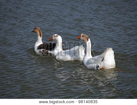 Group of domestic geese on a lake